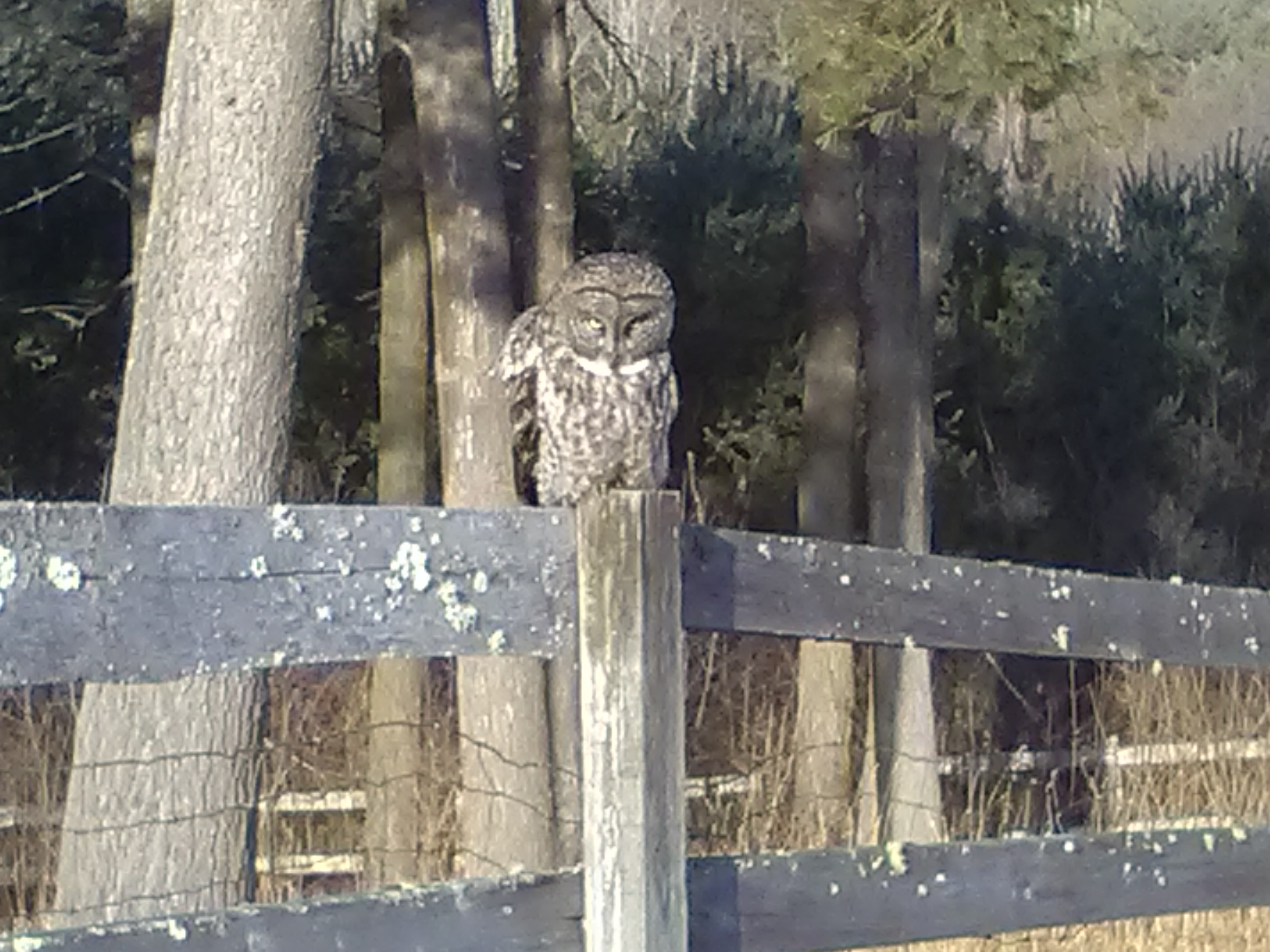 Random Road Trip Sightings – Rare Great Owl Newport, NH