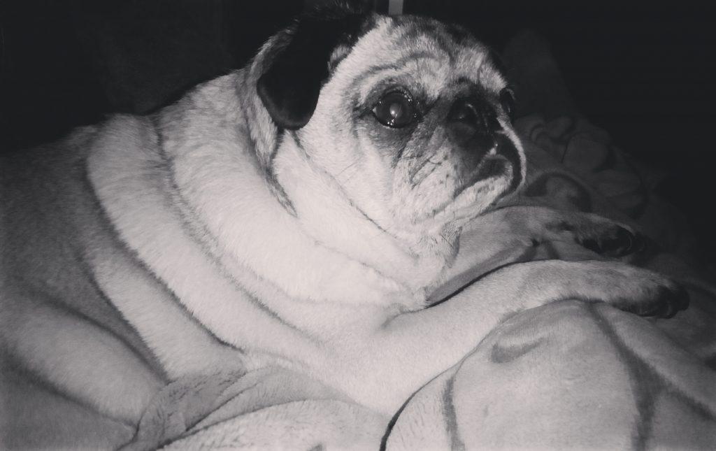 10 Reasons I Love Pugs
