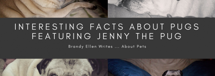 Interesting Facts About Pugs Featuring Jenny the Pug