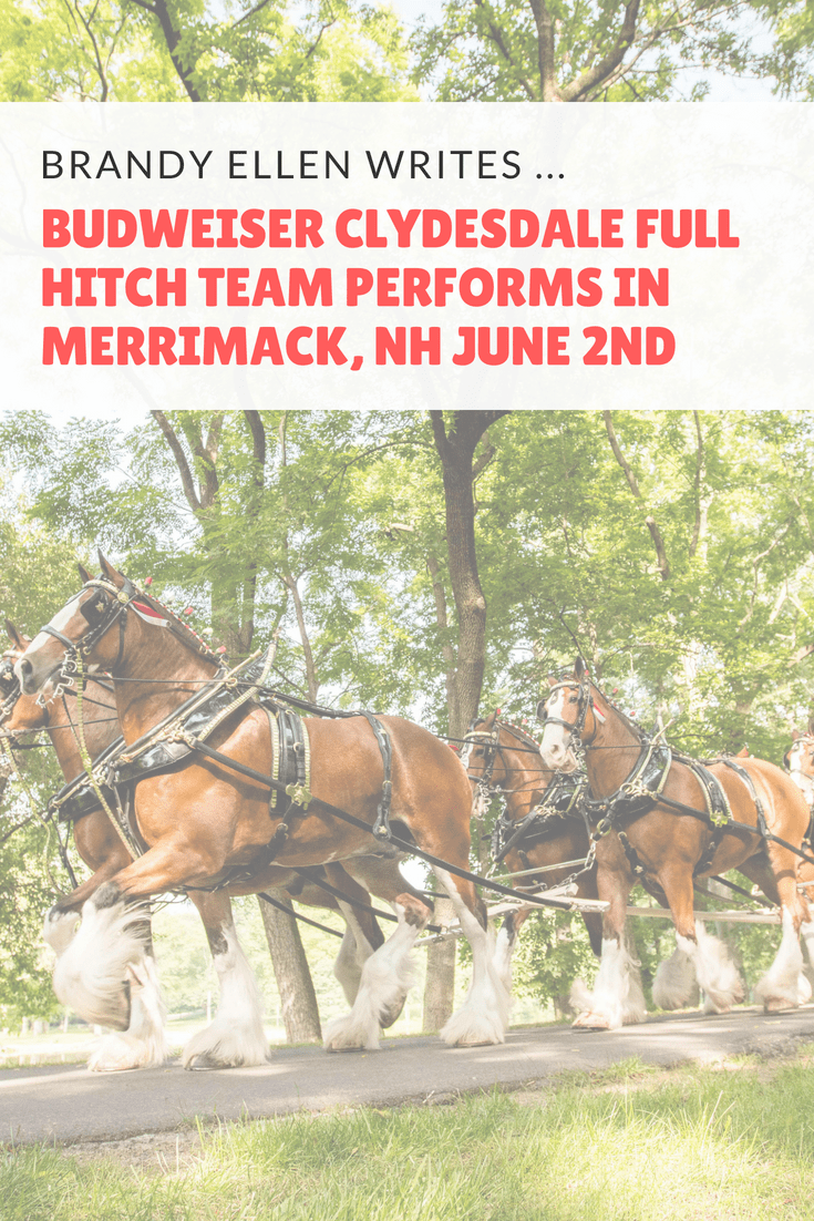 Budweiser Clydesdale Full Hitch Team