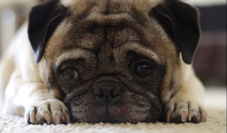 RIP Jenny the Pug – Your Memory Lives On